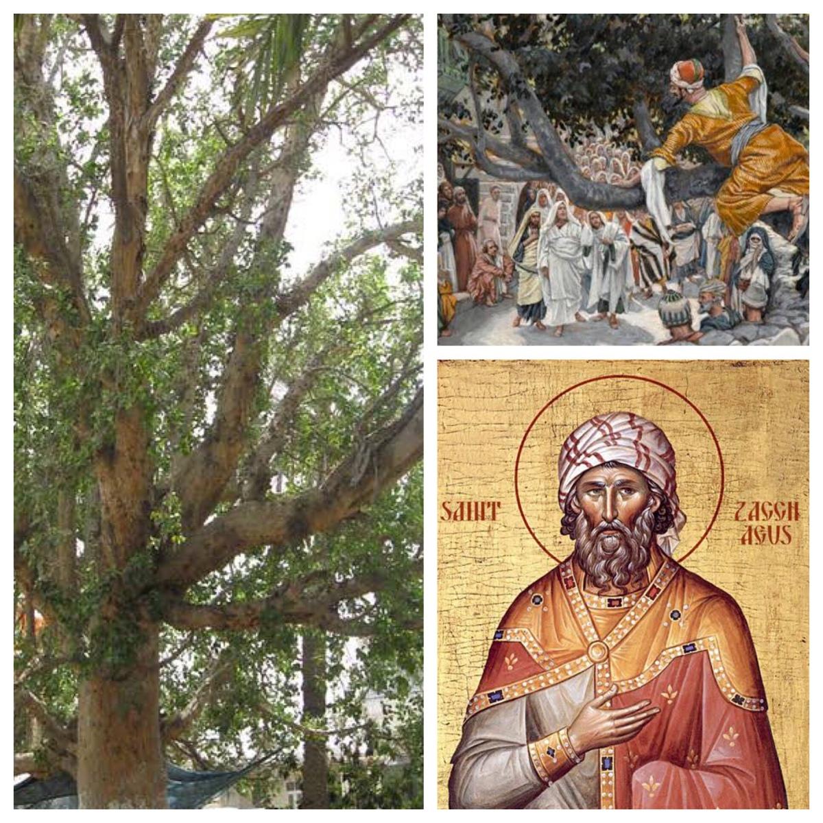 Zacchæus: patron saint of change and transition (Luke19)